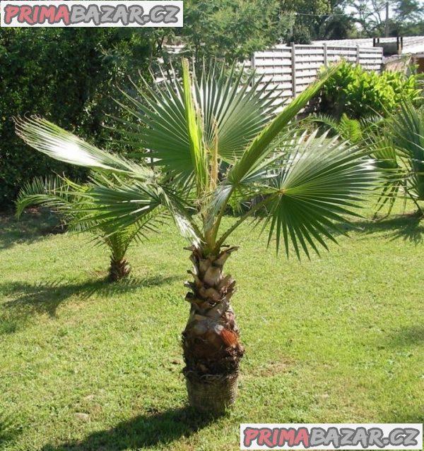 Washingtonia Robusta - naklíčená semena