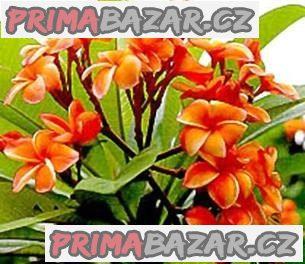 Plumeria Coral orange - semena
