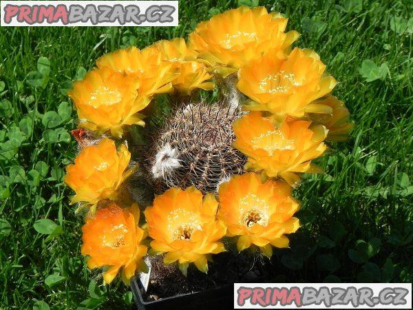 Kaktus Lobivia cabradai - semena