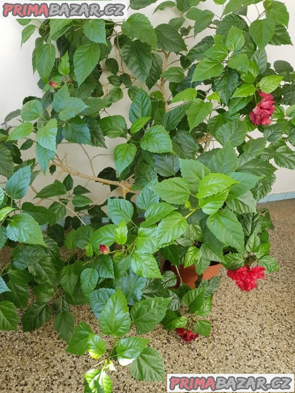 Pokojové květiny