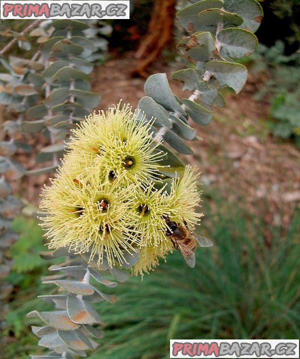 Eucalyptus Kruseana - semena
