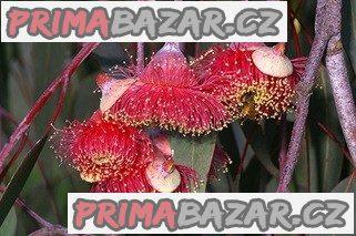 Eucalyptus Caesia - semena
