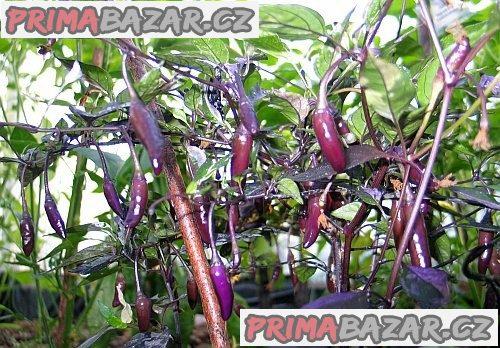 Chilli Fluorescent purple - semena