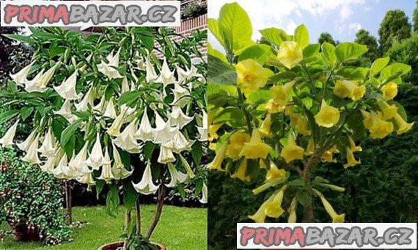 Kříženec Brugmasia Arborea a Brugmansia Goldface - semena