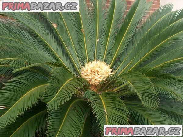 Cycas Revoluta - naklíčená semena