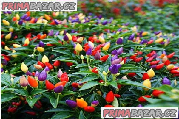 chilli Chinese Five Color - semena