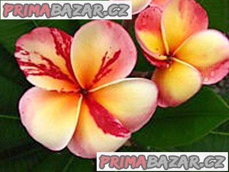 Plumeria Frangipani Top Angel - semena