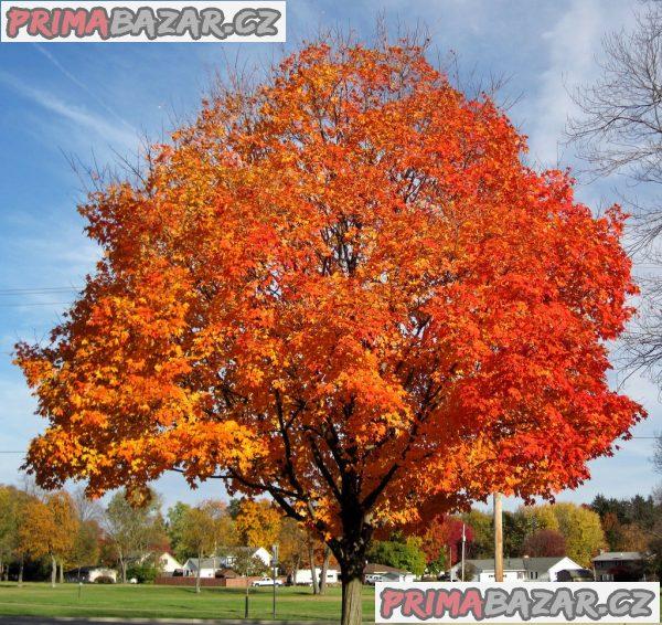 Acer Sacharum - Javor cukrový - semena