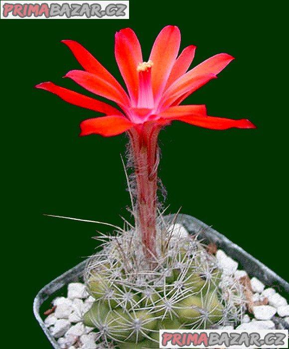 Kaktus Matucana Krahnii - semena