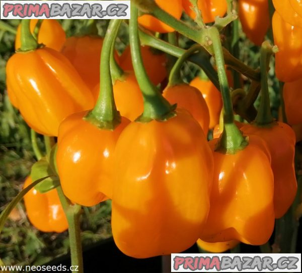 Chilli Habanero orange devil - semena
