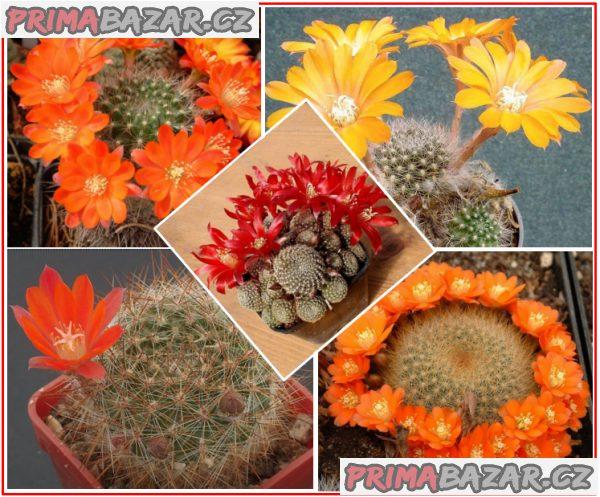 Kaktus Aylostera směs druhů - semena