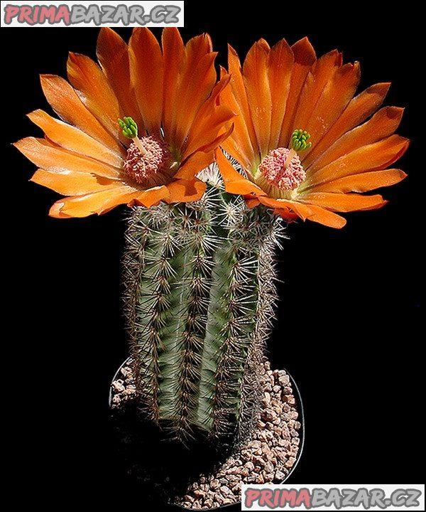 Kaktus Echinocereus lloydii SB 731 Pecos Tx - semena