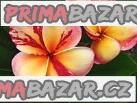 Plumeria Top Angel - semena