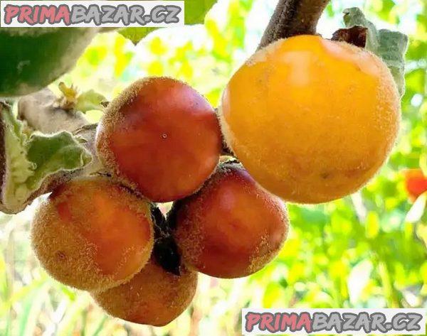 Solanum Sessiflorum - semena