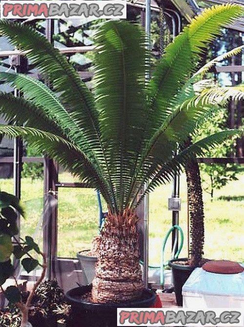 Cycas Dioon Spinulosum - naklíčená semena