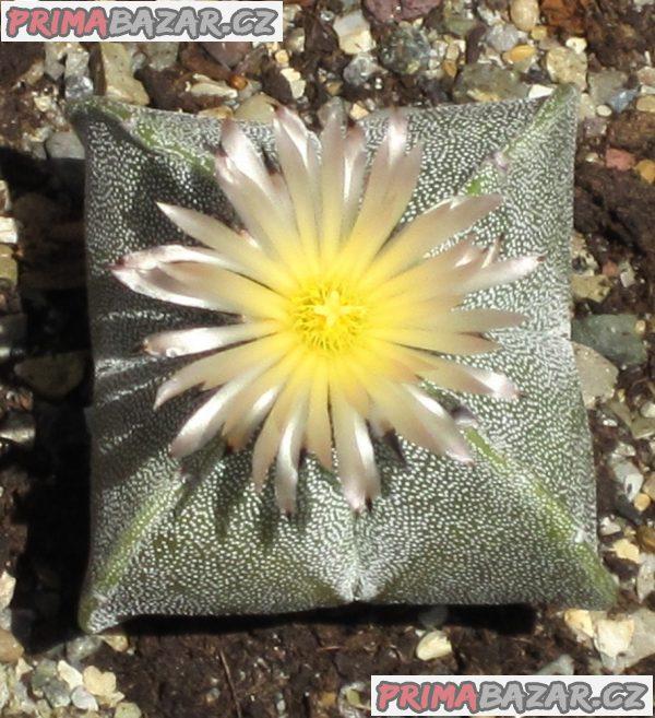 Kaktus Astrophytum myriostigma v. quadricostatum - semena