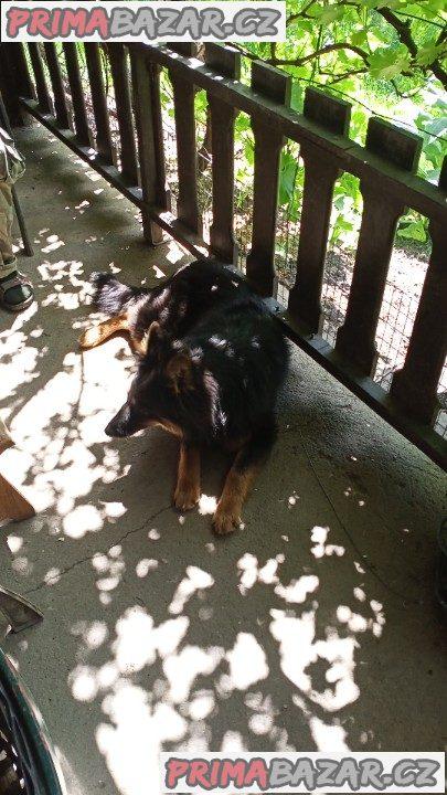 Chodský pes fenka