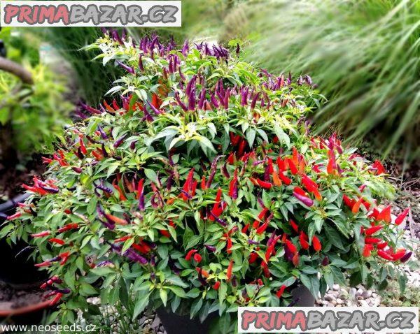 Chilli Sangria Ornamental - semena