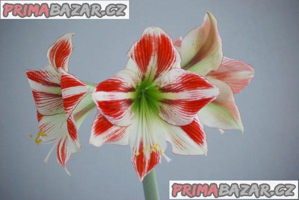 Hvězdník Ambiance cibule 3-5 cm